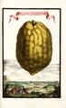 Cedro grande Lissi Bondolotto Volkamer 1708 120a.png