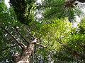 Ceiba pentandra 0006.jpg