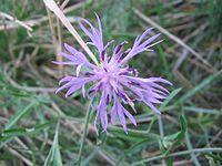 Centaurea aspera flor