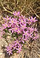 Centaurium erythraea Tzora.jpg