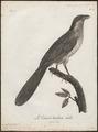 Centropus senegalensis - 1796-1808 - Print - Iconographia Zoologica - Special Collections University of Amsterdam - UBA01 IZ18800149.tif