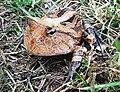Ceratophrys cornuta02.jpg