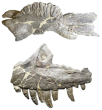 Ceratosaurus - Distinguishing skull features of Ceratosaurus: The co-ossificated left and right nasal bones form a prominent nasal horn (top), and the teeth of the upper jaw are exceptionally long (bottom). Fossils are on display at the Dinosaur Journey Museum of Fruita, Colorado and have been found near the museum.