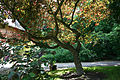 Cercis canadensis 'Forest Pansy' JPG1Ab.jpg
