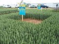 Cereals 2008, Skylark Plots - geograph.org.uk - 841214.jpg