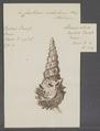 Cerithium nodulosum - - Print - Iconographia Zoologica - Special Collections University of Amsterdam - UBAINV0274 083 05 0008.tif