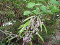 CersisChinensisFreshbeans2.jpg