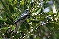 Cerulean Warbler (male) Anahuac NWR-Jackson Prairie Woodlot TX 2018-04-24 14-43-20 (27187720787).jpg