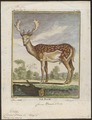 Cervus dama - 1700-1880 - Print - Iconographia Zoologica - Special Collections University of Amsterdam - UBA01 IZ21500142.tif