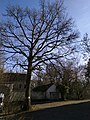 Chêne du centenaire (1830-1930) (Jodoigne-Souveraine).jpg