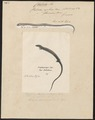 Chalcides cophias - 1700-1880 - Print - Iconographia Zoologica - Special Collections University of Amsterdam - UBA01 IZ12500067.tif