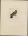 Chalcophaps stephani - 1820-1860 - Print - Iconographia Zoologica - Special Collections University of Amsterdam - UBA01 IZ15600269.tif