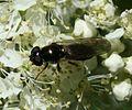 Cheilosia cf. scutellata (female) - Flickr - S. Rae.jpg
