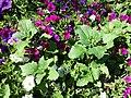 Chenopodium murale sl36.jpg