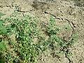 Chenopodium vulvaria sl134.jpg