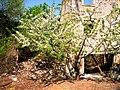 Cherry Blossoms ^ Ruins - panoramio.jpg