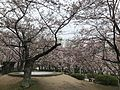 Cherry blossoms and saucer magnolia in Tokiwa Park.jpg