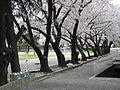 Cherry trees at Musashino University.jpg