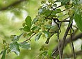 Chestnut-sided Warbler (Different crop, allowing more space) (46984096485).jpg