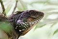 Chinese Water Dragon (Physignathus cocincinus) - Khao Yai National Park - 2.jpg