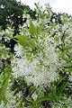 Chionanthus virginicus kz05.jpg