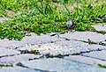 Chipping Sparrow (29263906517).jpg