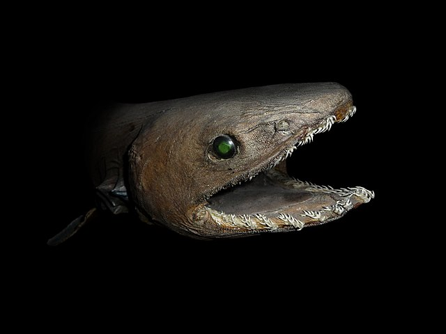 Image result for the rare frilled shark