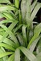 Chrysalidocarpus lutescens 1zz.jpg
