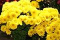 Chrysanthemum Nancy 1zz.jpg