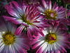 Chrysanthemums (3).jpg