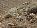 Chukar Partridge (Alectoris chukar) (15715852530).jpg