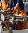 Chum Salmon Sorting Taku Smokeries wc16.jpg
