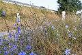 Cichorium intybus MG 8583.jpg