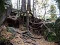 Cinibulkova stezka, hřeben Prolezovaček, kořeny.jpg