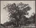 Cinnamomum camphora, Japan. AAE-00591.jpg