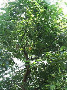 Cinnamomum camphora - Wikipedia, la enciclopedia libre