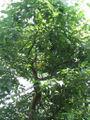 Cinnamomum camphora - camphor tree.jpg