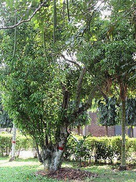 Cinnamomum tamala (Bay leaf) tree in RDA, Bogra 03.jpg