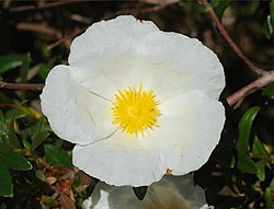 meaning of cistus