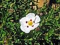 Cistus x obtusifolius (snow fire rock rose) 2 (49098086071).jpg