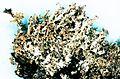 Cladonia squamosa.jpg