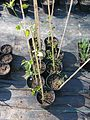 Clematis aff fusca leafy green - Flickr - peganum.jpg