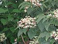 ClerodendronTrichotomum3.jpg