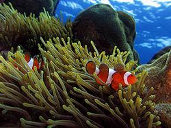 Ikan badut Ocellaris , Amphiprion ocellaris