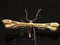 Cnaemidophorus rhododactyla (36317307762).jpg
