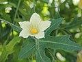 Coccinia sessilifolia-IMG 5462.jpg