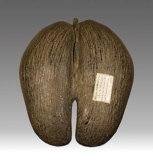 Lodoicea - Nut, with affixed label designating its origin