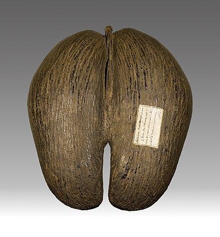 Najväčšie semeno na svete má palma lodoičea seychelská