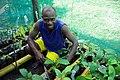 Cocoa farmer David Kebu Jnr (known as Jnr) squats next to his cocoa seedlings at Kebu farm, east of Honiara. (10687059144).jpg