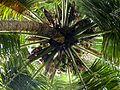 Coconut Tree Canon Sx40 HS.JPG